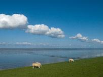 Grazende schapen langs de dijk